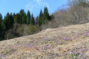 4/23 カタクリ満開!【例年より一週間早い!】