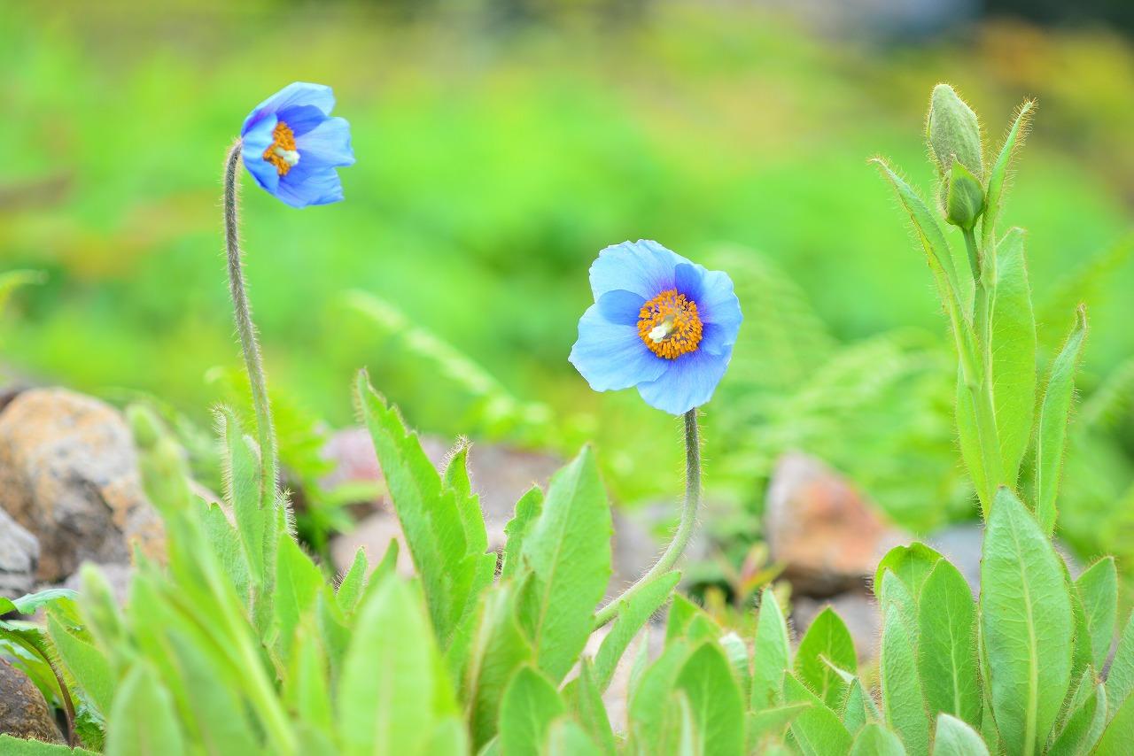 【6月23日】青いケシ、コマクサ咲いてます!