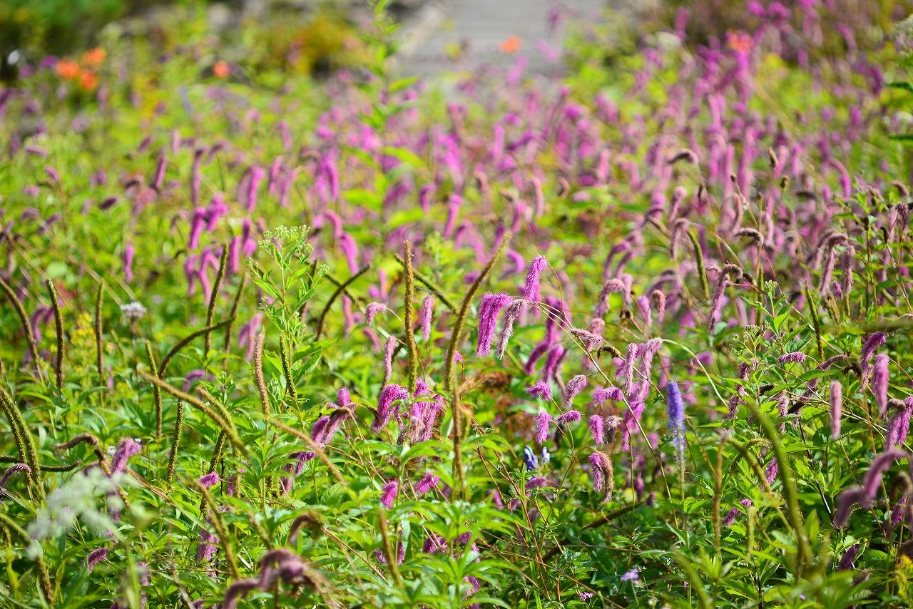 【秋の花ですよ!】9月3日の植物園の花たち